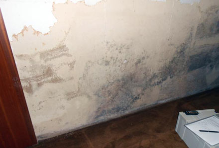 Acremonium mold forming on a wall
