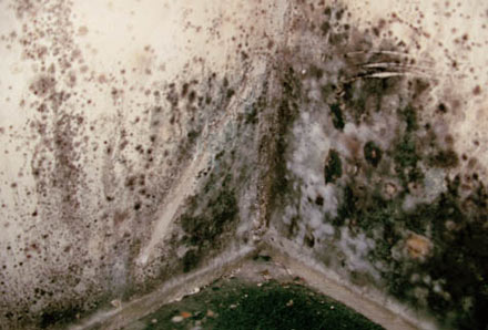 A severe case of stachybotrys mold growing on a wall.