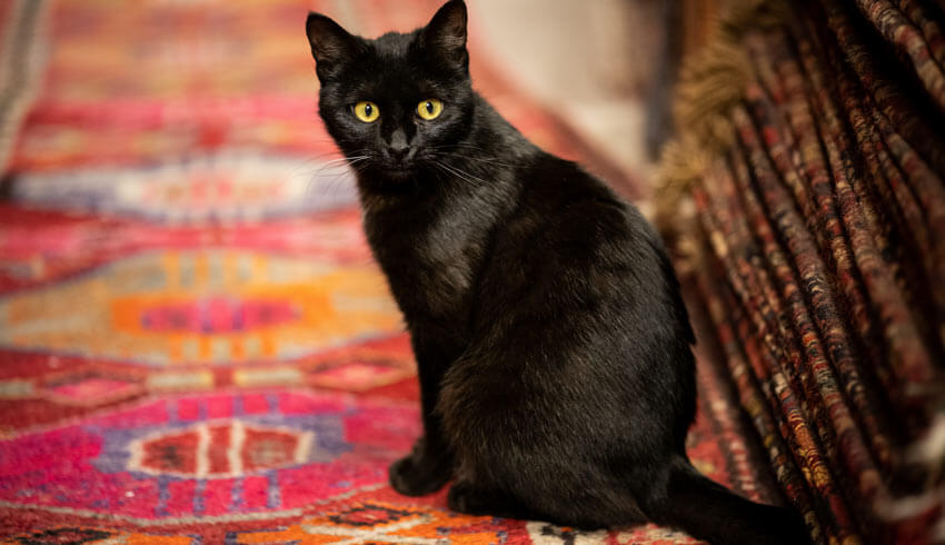 How to clean pet urine from an oriental rug.