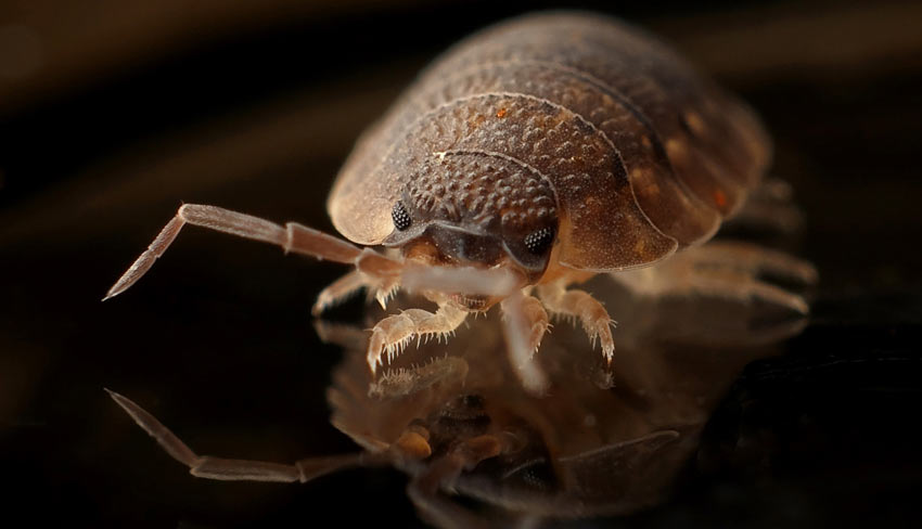 Bed bugs ultimate guide